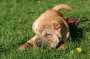Shar pei puppy for sale